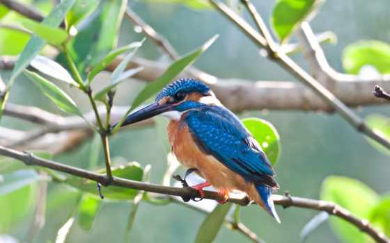 kingfisher, птица, ordinary, branch,