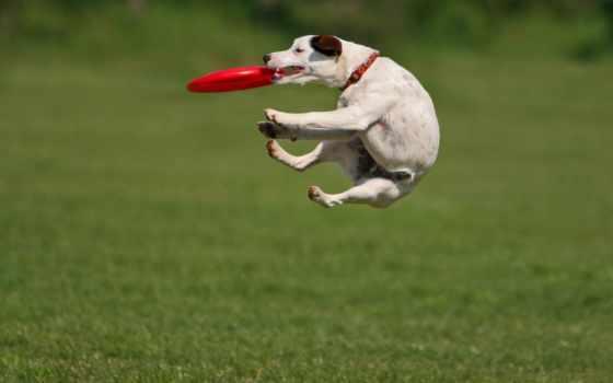 собака, собак, рассел, jack, собаки, toy,