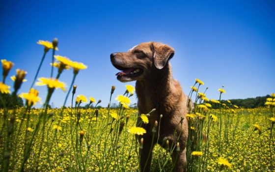 ка, kwiaty, piesek, pies, brązowy, собака, цветы, zdjęcie,