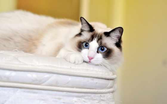 голубые, свет, кот, взгляд, морда, хороший, рэгдолл, утро, сфинкс,
