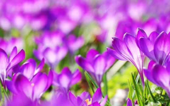 cvety, крокусы, весенние, фиолетовые, природа, favourite, февр,