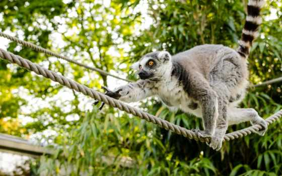 lemur, high, desktop, ринг, tailed,