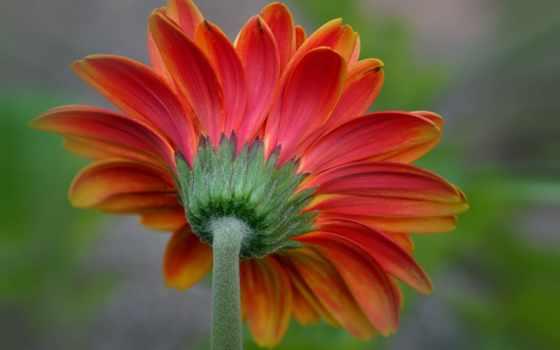 цветы, gerbera, лепестки,