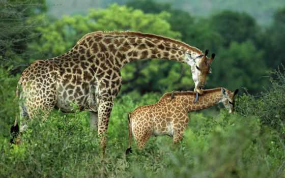 жирафы, жираф, жирафа
