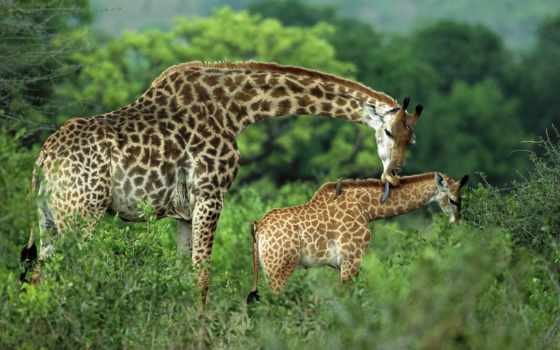 жирафы, жираф, жирафа, язык,