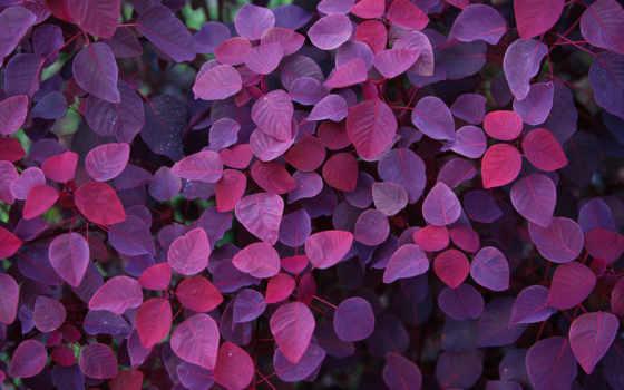 листья, фиолетовый, осень