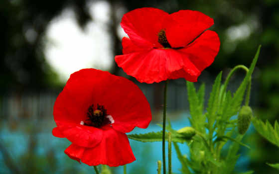 маки, красные, поле Фон № 100147 разрешение 1920x1200
