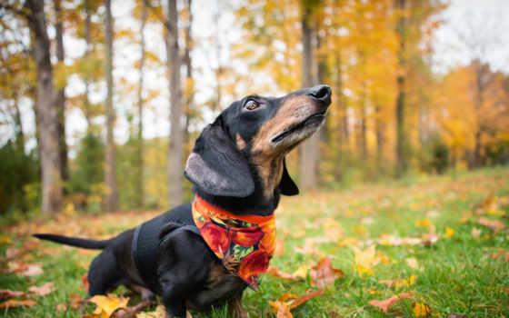 dachshund, собака, осень, zhivotnye,
