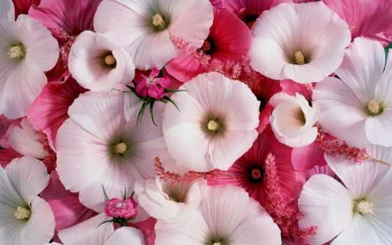 лаватера, посадка, maintenance, однолетняя, цветы, лаватеры, фартук, cherry,