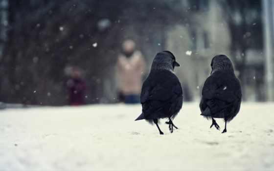 вороны, birds, winter, крылья, снег, можно,