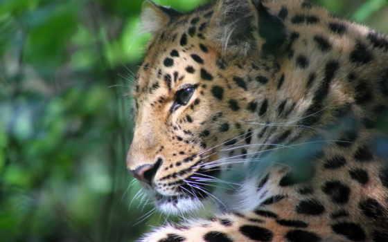 леопард, морда, отдых,