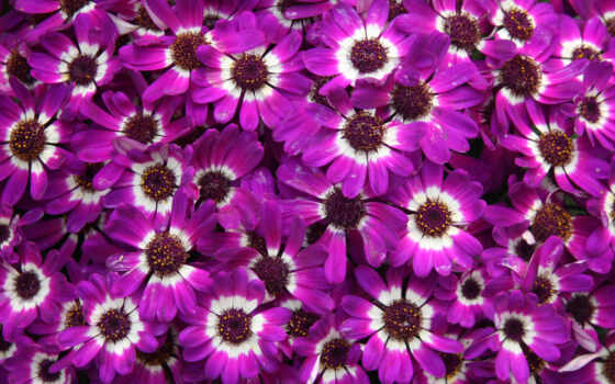 cinerarium, цветы, daisy, макро, purple, african, id, добавить, metkii, категория, downloaded