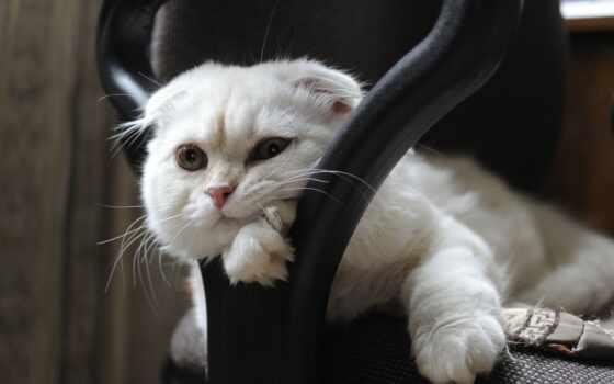 pinterest, доска, тематика, zwisłouchy, смотреть, идея, кот, scottish, kot, цитата, настроение