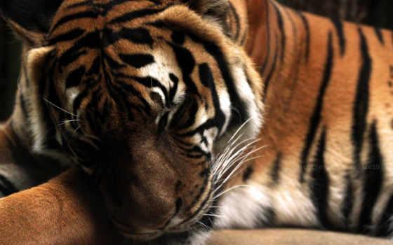 тигр, tiger Фон № 6412 разрешение 3000x2000