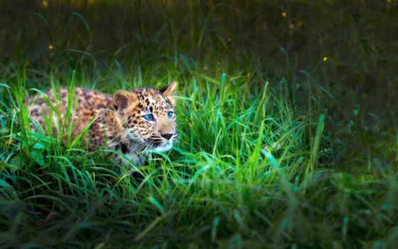 траве, гепард, трава, леопард, хищник, щенок, jaguar, zhivotnye, охотится, кот, взгляд,