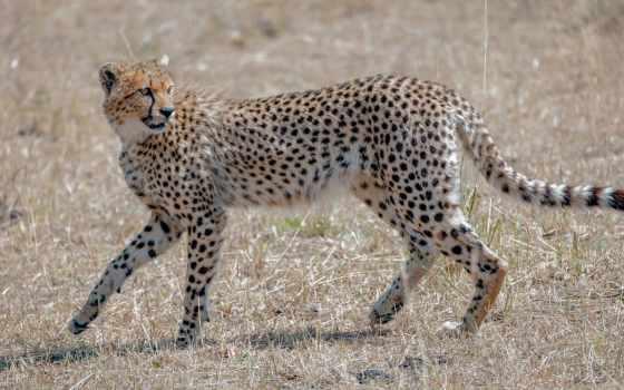 wild, хищник, ipad, top, гепард, кот, pin,