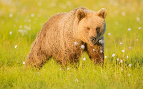 медведь, браун, различных, smartphone, лежит, дек,