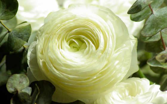 цветы, white, flowers, лепестки, gallery, cvety, роза,