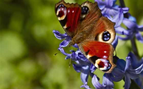 бабочка, cvety, цветах
