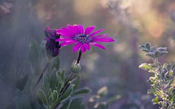daisy, красивые, нежные, макро, растение, fleur, цветя, african, foto, plante,