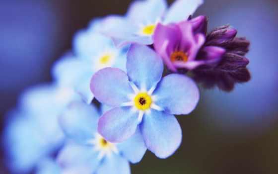 small, blue, цветы, незабудка, cvety