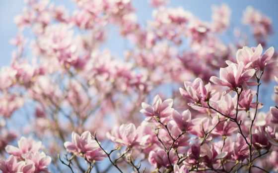 весна, дерево, branch, magnolia, лепестки, cvety