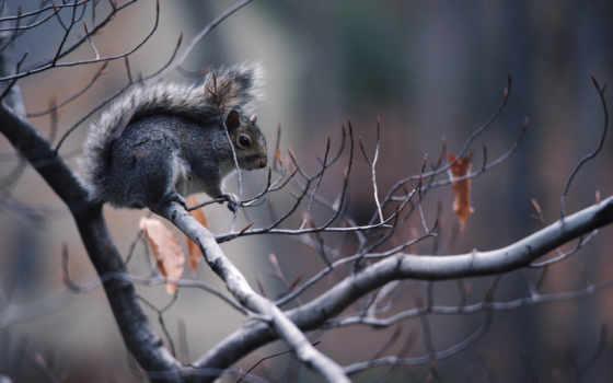 ipad, sciurus, белки, scoiattolo, серая, grigio,