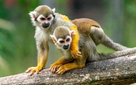 обезьяна, белки, achtergrond, hug, animal, jazz, amazon, два, объятие