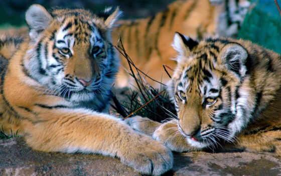 тигр, котята