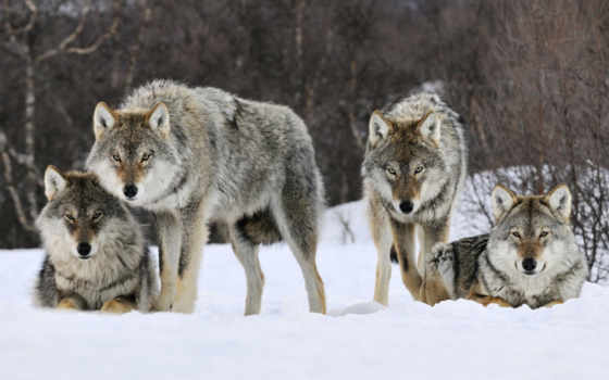 wolves, pack, волк