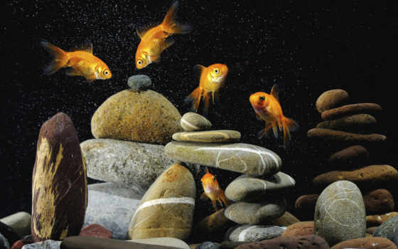 аквариум, рыбки, золотые, water,