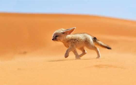 geographic, traveler, fennec, fox, , morocco, alena,