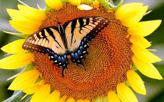 подсолнух, бабочка, цветок