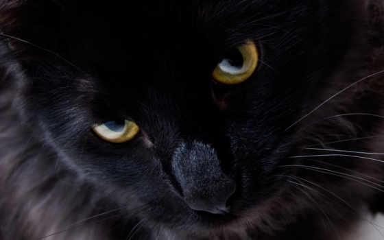 взгляд, кошки, кот