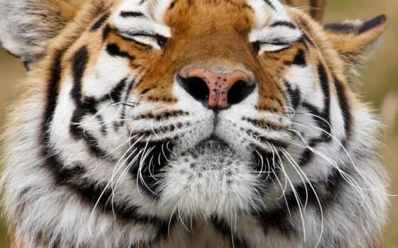 морда, тигр, хищник