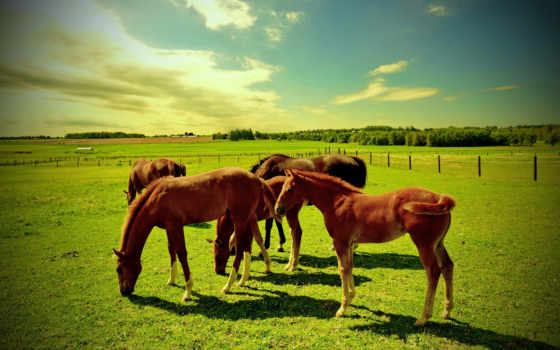 лошади, лошадей, стадо, белые, поле, пасутся, дикие, желтом, лошадь,