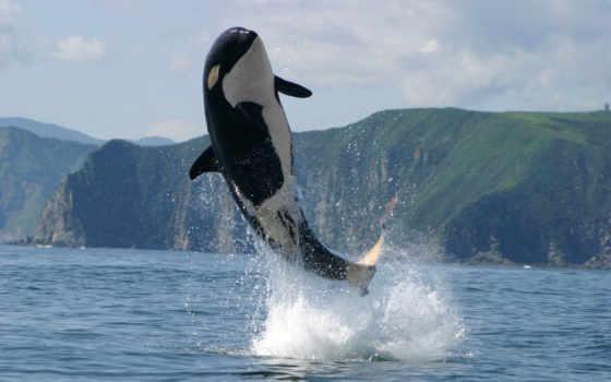 касатка, кит, ocean