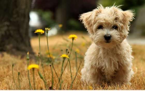 собаки, щенок, болонка, болонки,