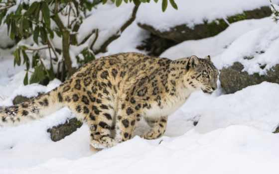 снег, леопард, ирбис, кот, zhivotnye, дикая, хищник,