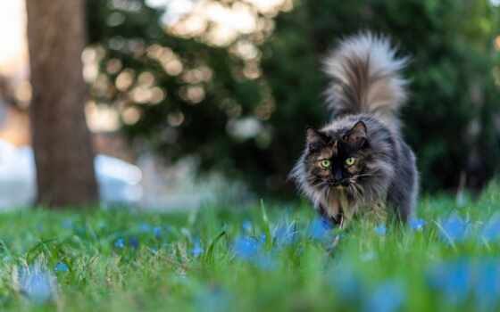 кот, серый, пушистый, dark, идёт, зелёный, blue, морда, взгляд, газон