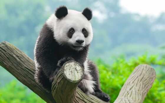 панда, медведь, animal, биг, китаянка, cute, небо, baby, природа
