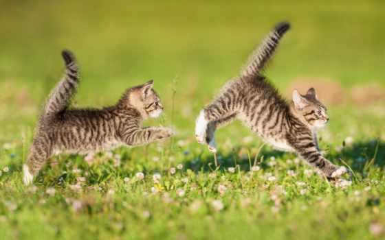 котенка, два, котенок, zhivotnye, котята, pet, трио, заставки, траве,