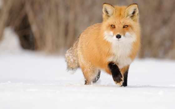фокс, снегу, рыжая, лисы, идёт, снег, разных, красивая, zhivotnye, разрешениях, diamond,