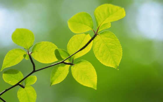 листва, макро, зелёный, весна, branch, зеленые, природа, color,