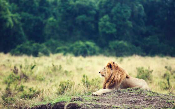 лев, грива, car, lion, зверей, kartinka, животное,