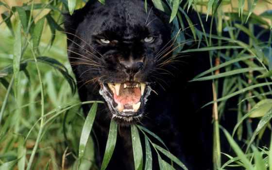 panther, черная, black
