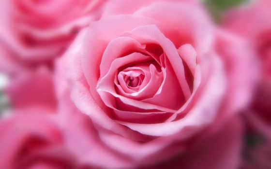 роза, цветы, world