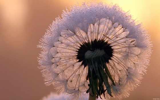 одуванчик, макро, стебель, gentle, закате, цветы, иней,