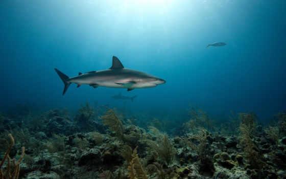bottom, море, кораллы, акулы, хищники, pisces,