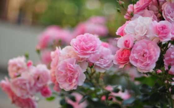 cvety, кусты, розы, лепестки, розовые, размытость, макро,